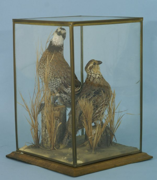 1152: PAIR OF TAXIDERMIED PHEASANTS UNDER GLASS