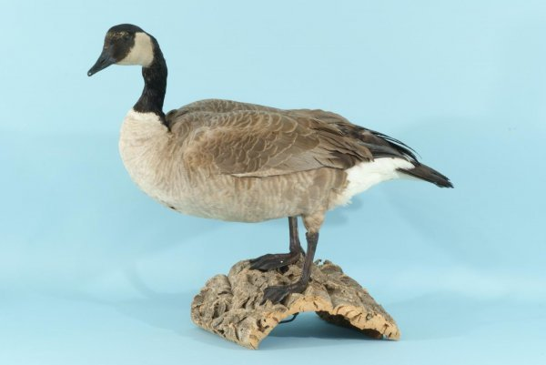 8: MOUNTED GOOSE TROPHY