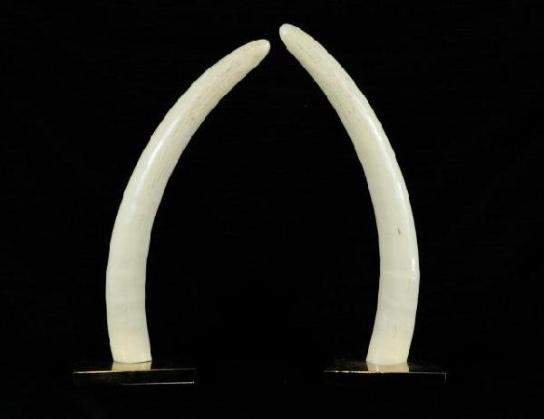 5: PAIR OF DECORATIVE TUSKS MOUNTED ON BRASS BASES