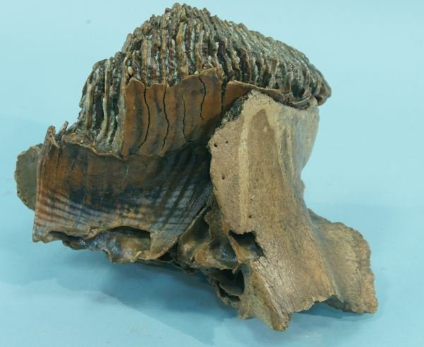 13: MAMMOTH TOOTH & JAW FRAGMENT
