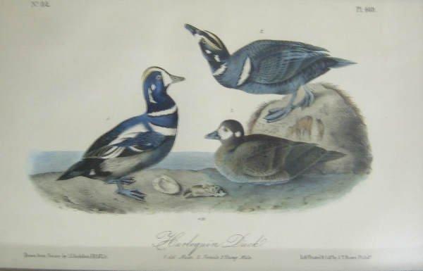 18: Lithographs after John J. Audubon
