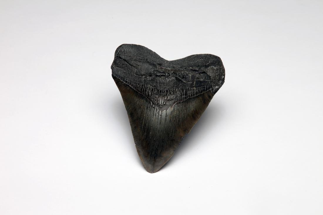 A Giant Fossil Shark Tooth
