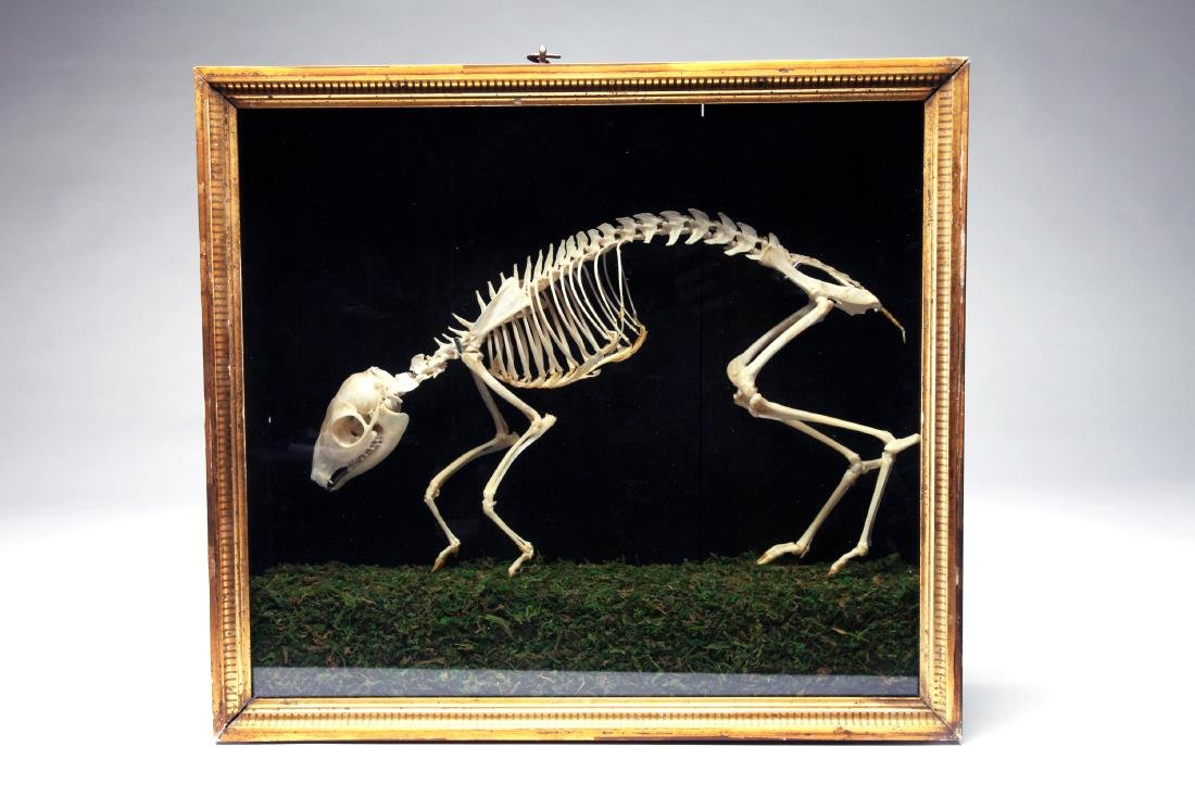 An Articulated Skeleton of a Mouse Deer