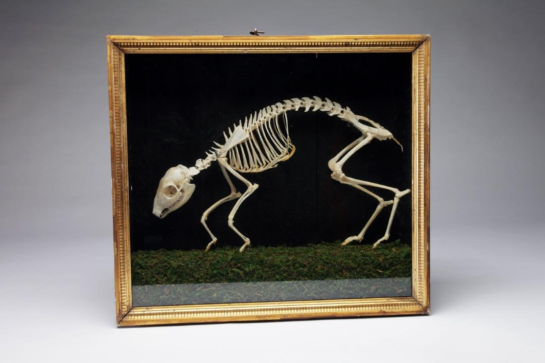 An Articulated Skeleton of a Mouse Deer - 2
