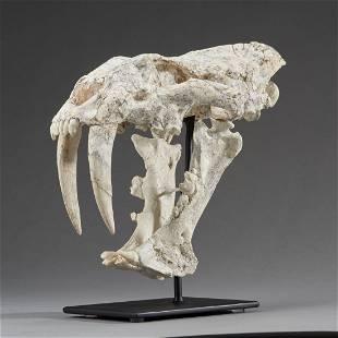 Fossil Sabercat Skull (Megentereon)