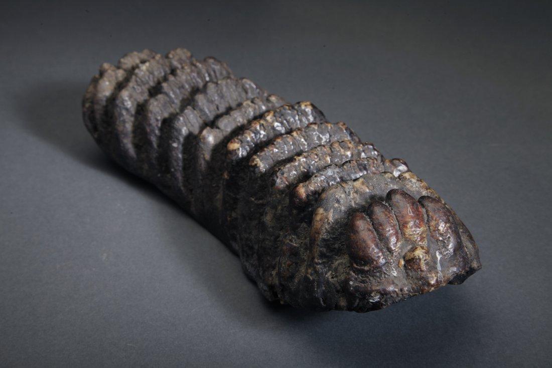 Fossil Stegodon Molar