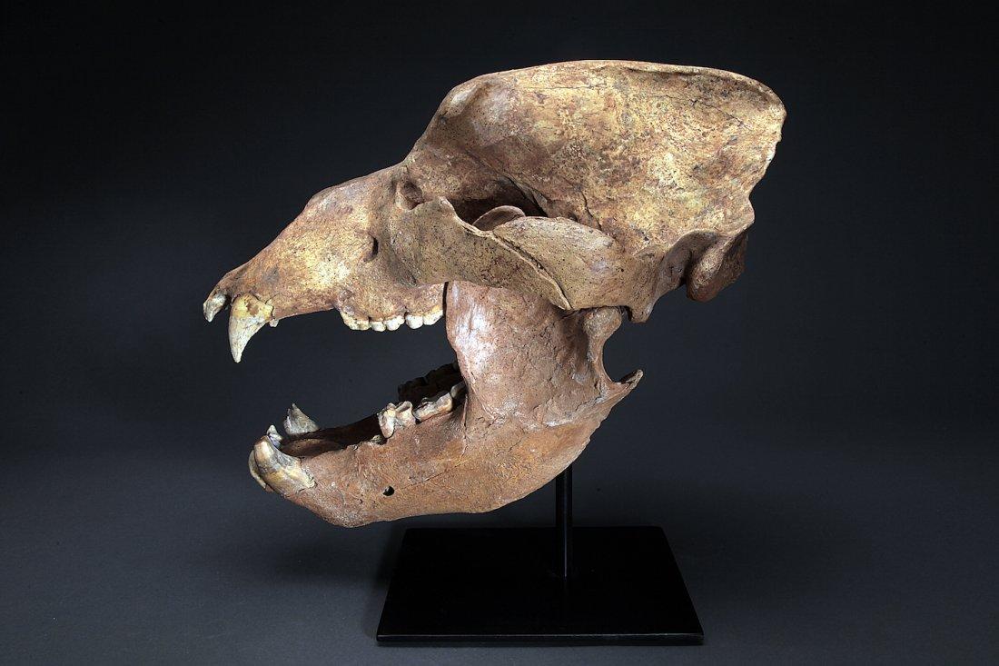 Fossil Cave Bear, Ursus Speleaus Skull
