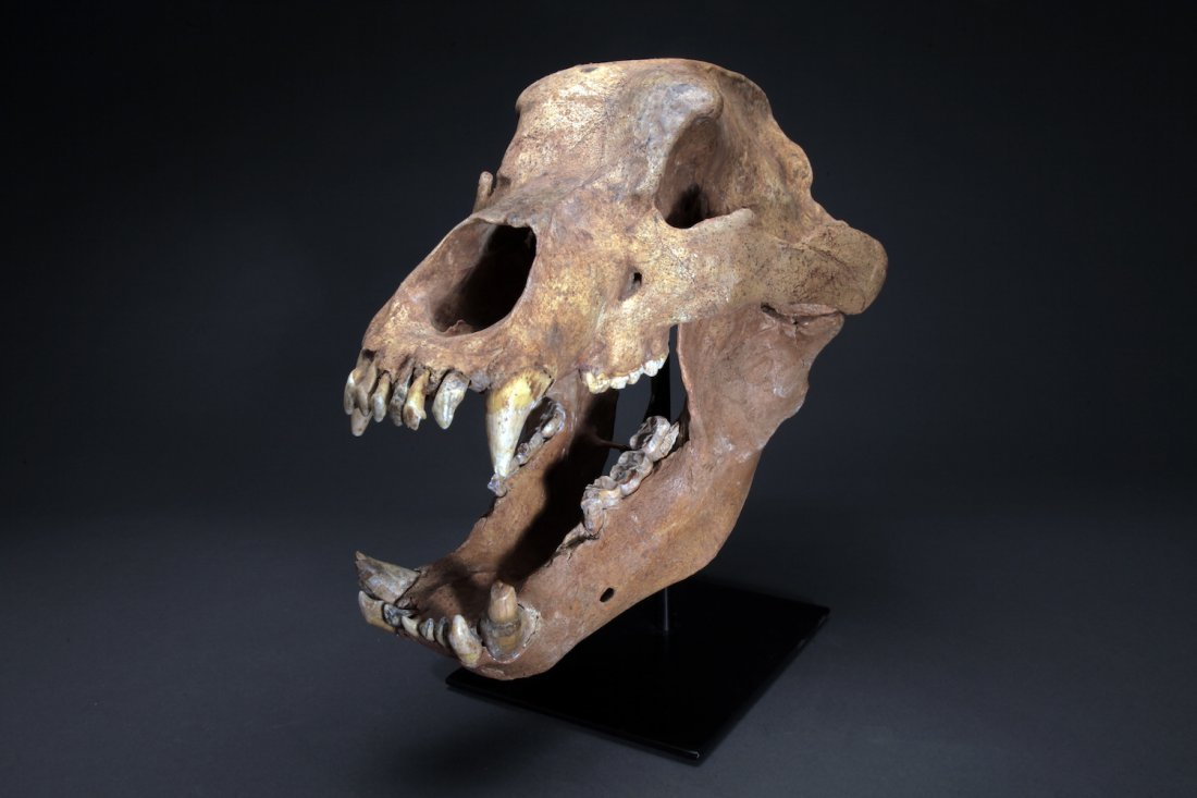 Fossil Cave Bear, Ursus Speleaus Skull - 2