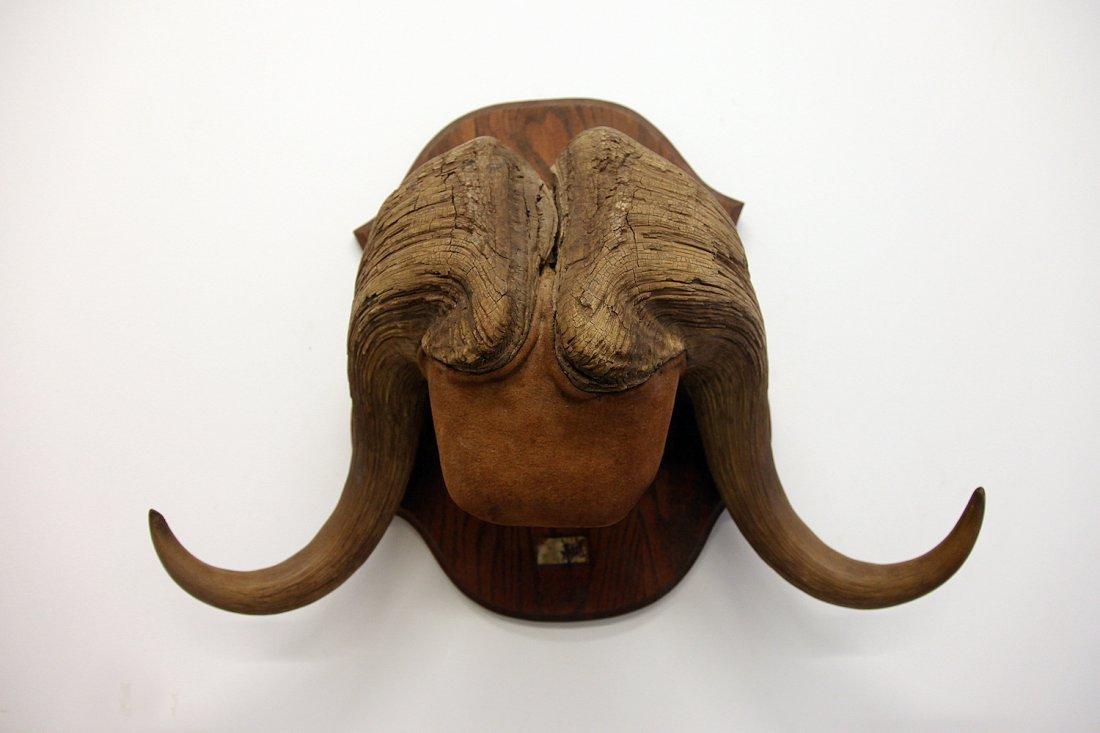 Musk Ox Horns