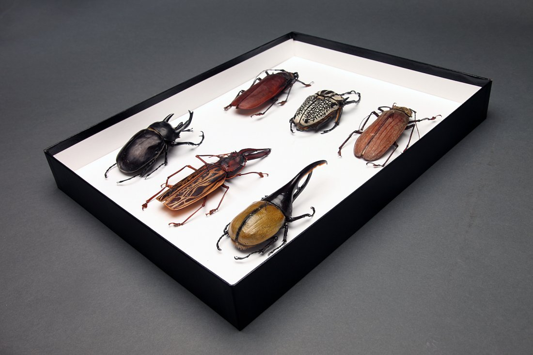 Taxidermy Group of 6 Very Large Beetles