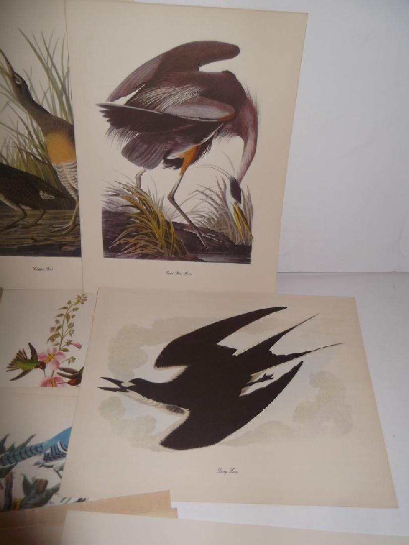50 Audubon birds of America lithograph prints - 3