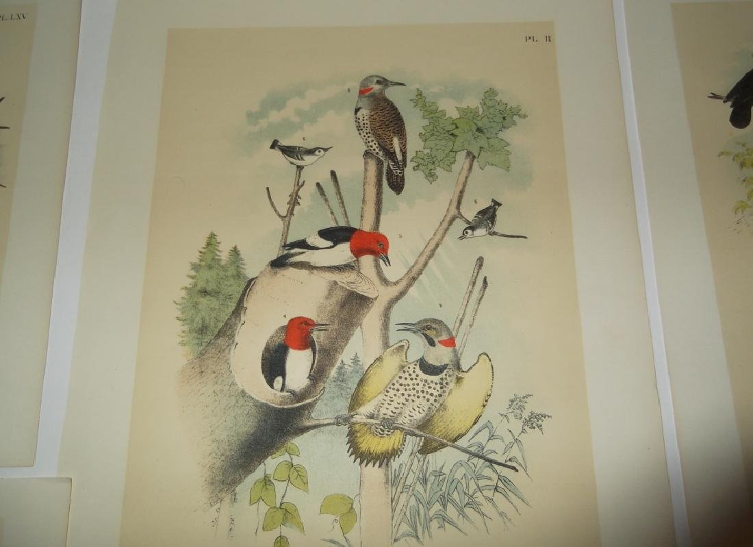 25 20th century bird lithographs - 4