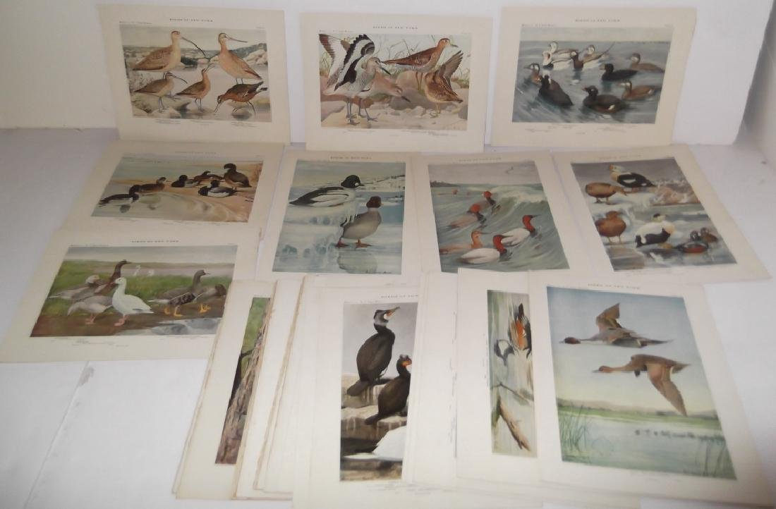 40 20th century  Birds of New York lithographs