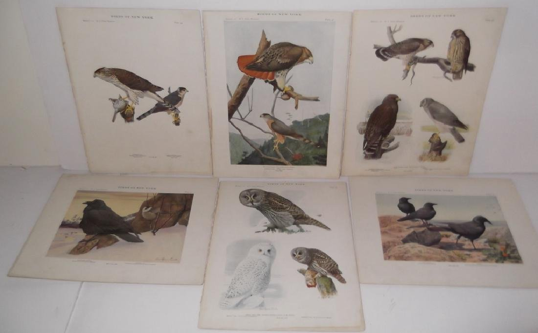 40 20th century  Birds of New York lithographs - 2