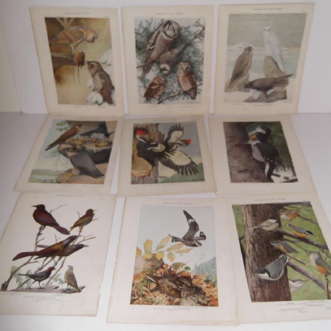 40 20th century  Birds of New York lithographs - 3