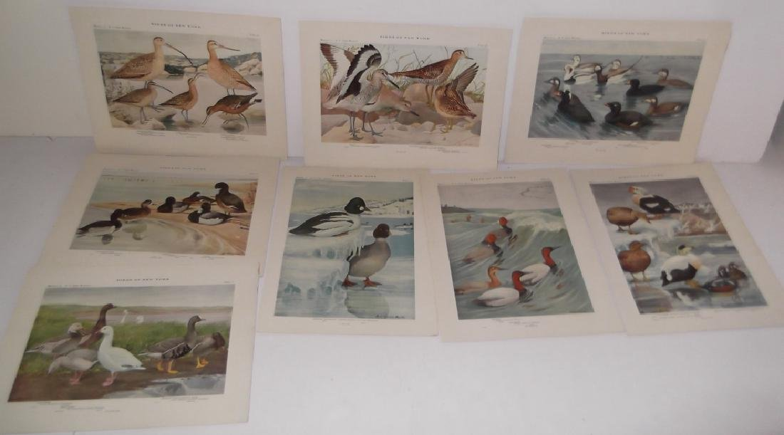 40 20th century  Birds of New York lithographs - 5
