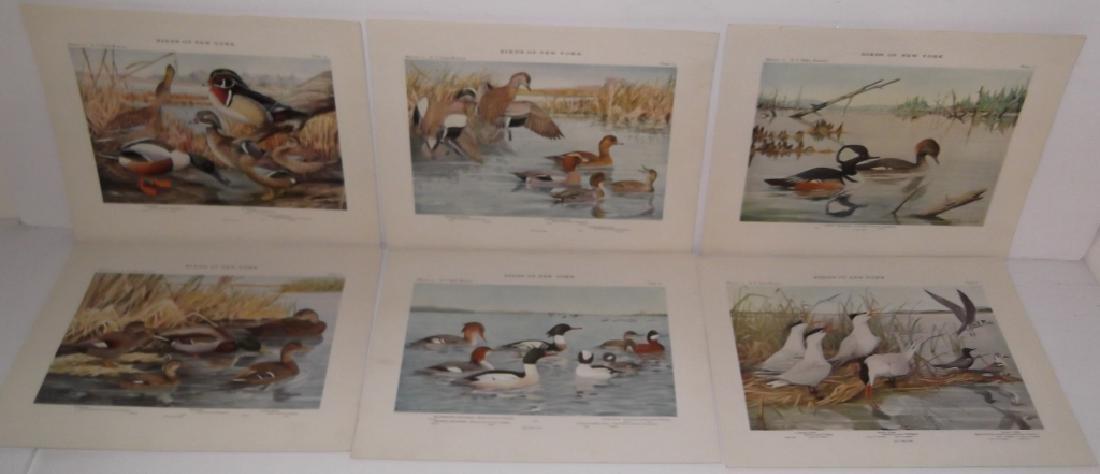 40 20th century  Birds of New York lithographs - 7