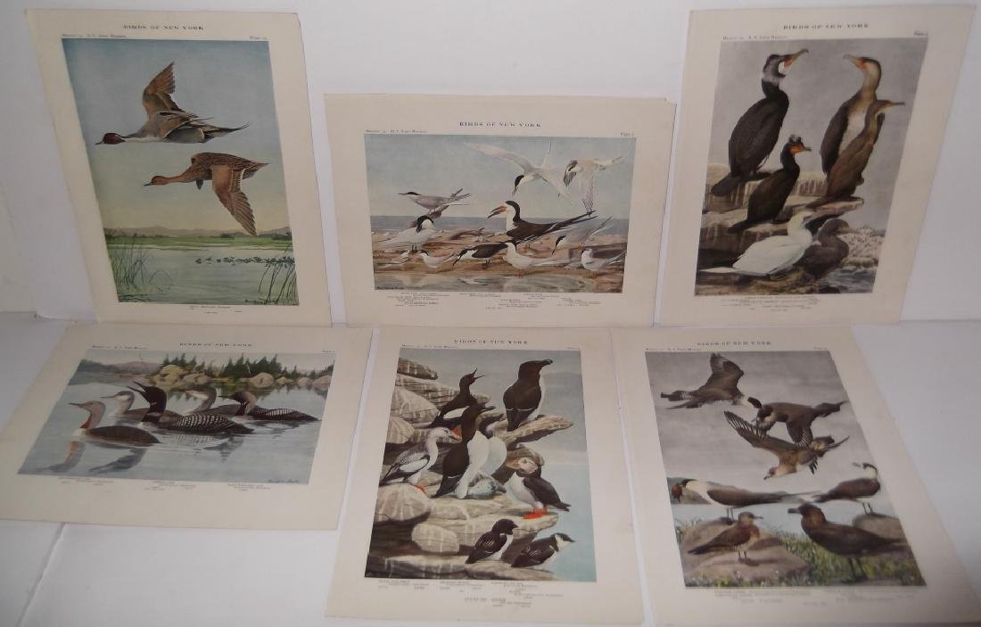 40 20th century  Birds of New York lithographs - 8