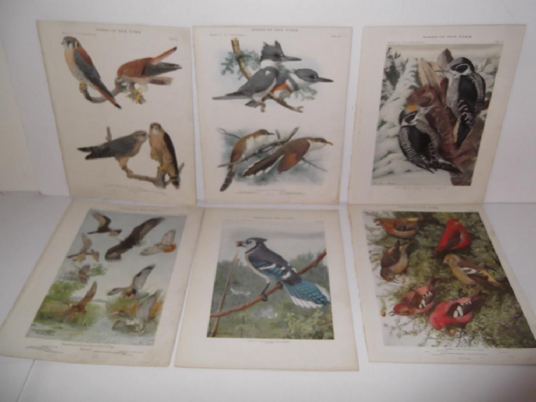 40 20th century  Birds of New York lithographs - 9