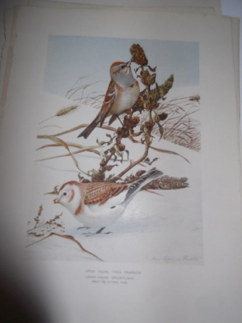 30 bird & animal  lithographs - 4