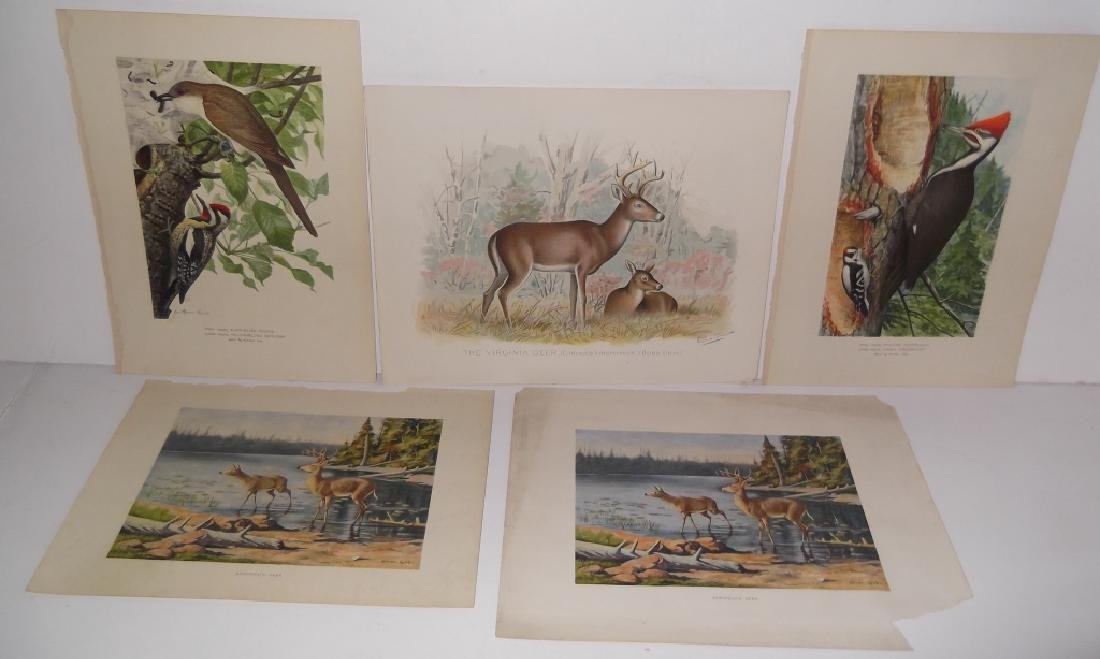 30 bird & animal  lithographs - 8
