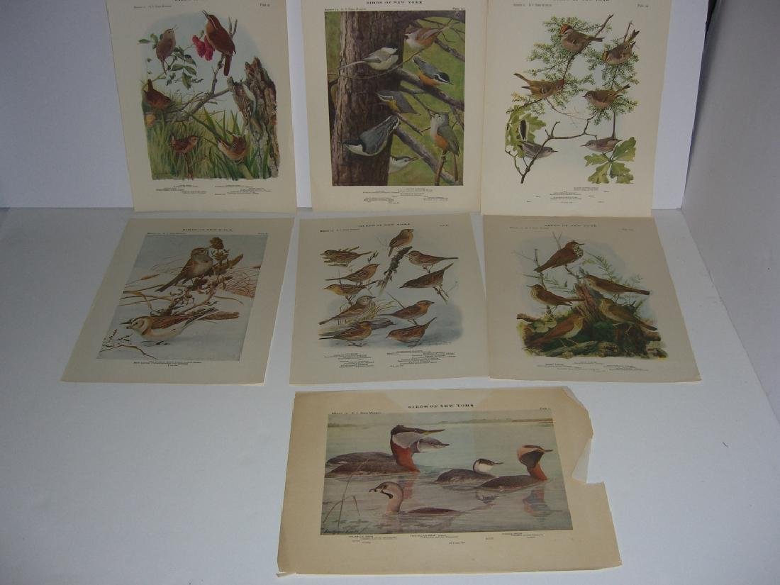 93 Birds of New York  lithographs - 2