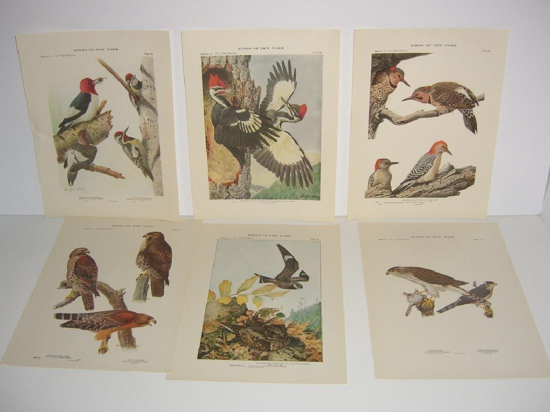 93 Birds of New York  lithographs - 3