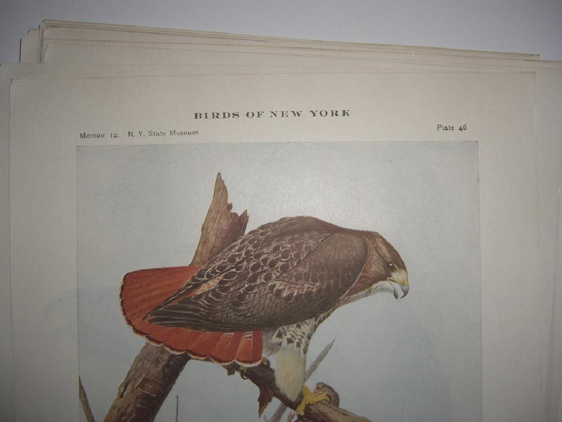 93 Birds of New York  lithographs - 4
