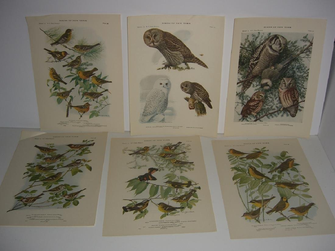 93 Birds of New York  lithographs - 5