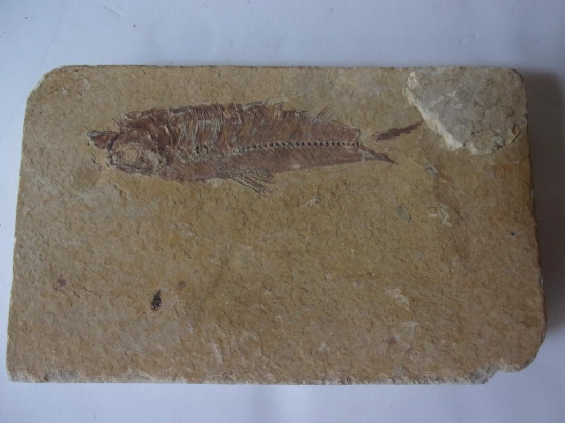 Diplomystus Fish fossil
