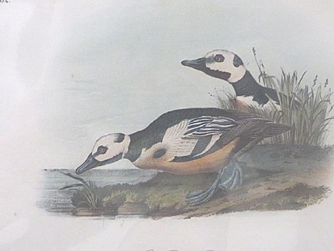 Audubon. Western Duck . Octavo . Plate 407