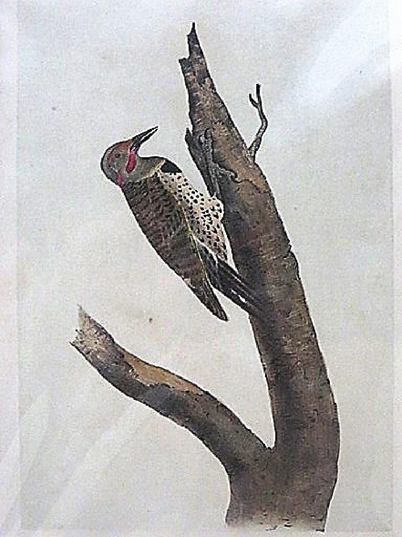 Audubon. Missouri Red Moustached Woodpecker 494