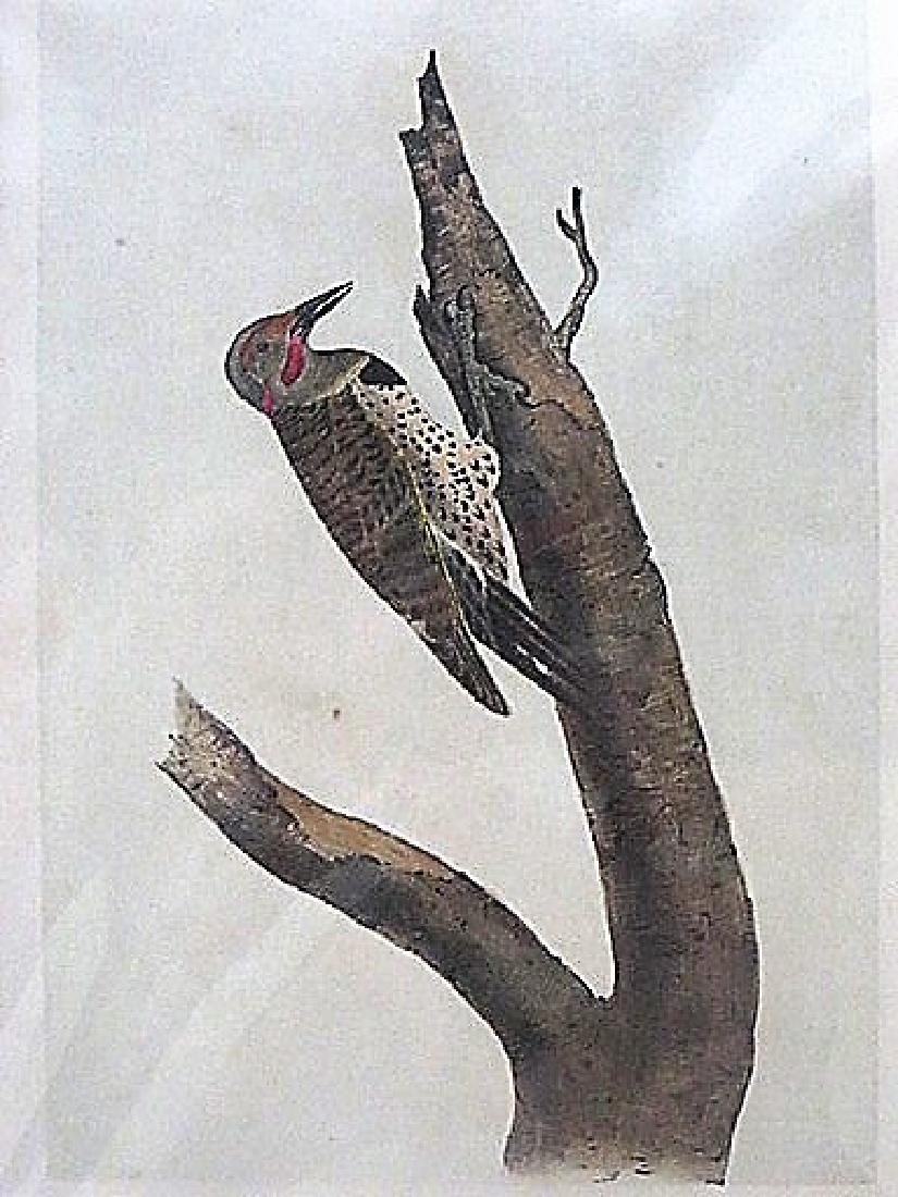 Audubon. Missouri Red Moustached Woodpecker 494