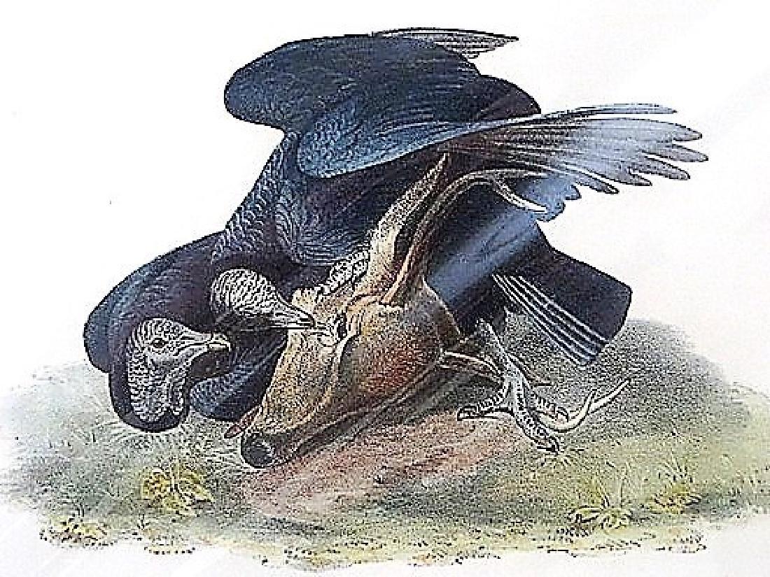 Audubon. Black Vulture or Carrion Crow. No. 3