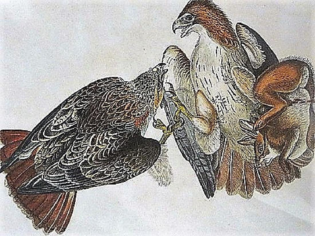Audubon. Red Tailed Buzzard  Plate 7