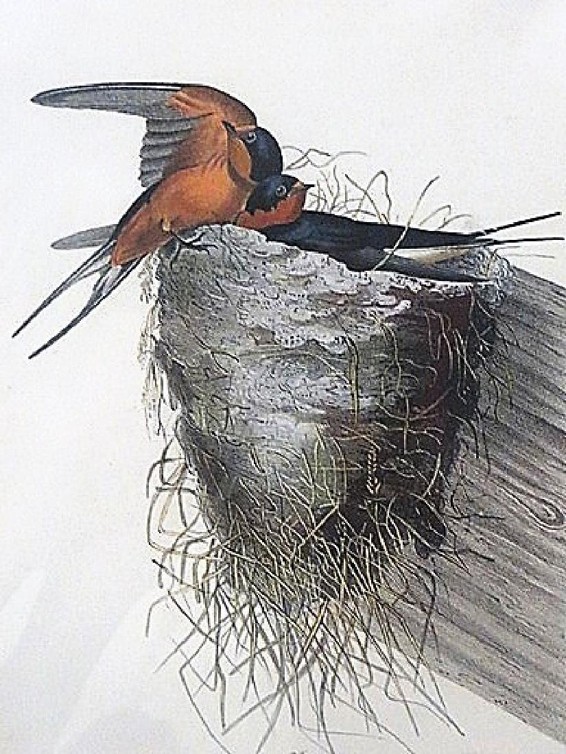 Audubon. Barn or Chimney Swallow .  Plate 48