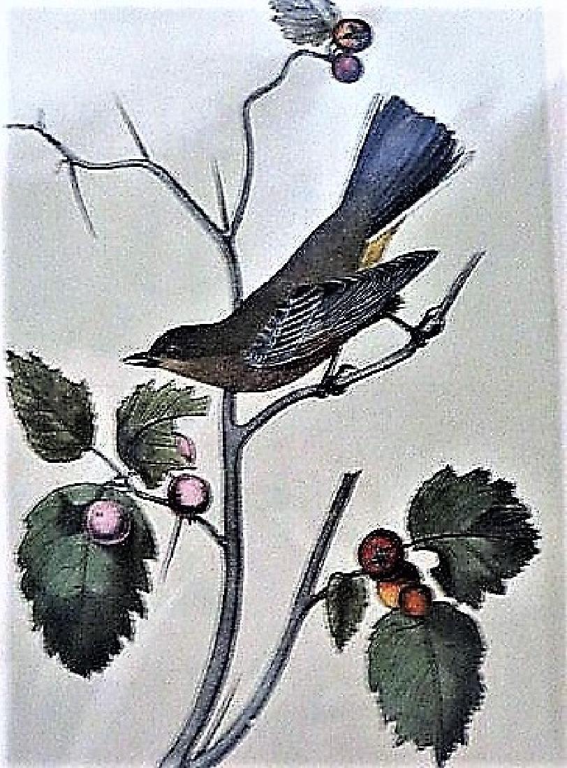 Audobn. Townsend's Ptilogonys. Plate 69
