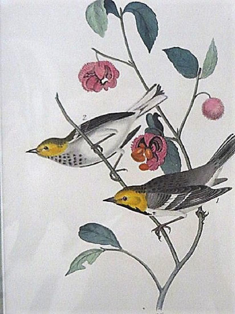 Audubon. Hermit Wood Warbler Plate 93