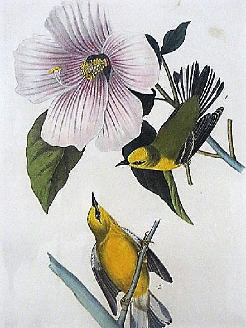 Audubon. Blue Winged Yellow Swamp Warbler . Plate 111