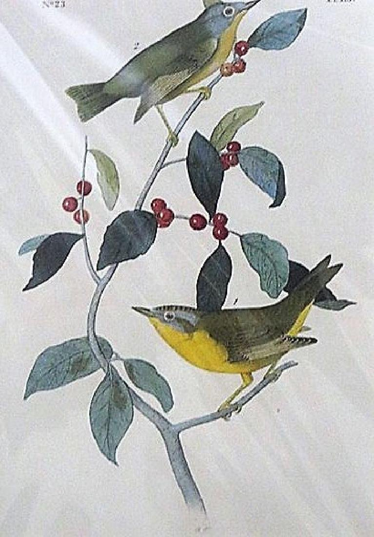 Audubon. Nashville Swamp Warbler  Plate 113