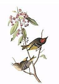 J. J. Audubon Ruby Crowned Kinglet . Plate 133