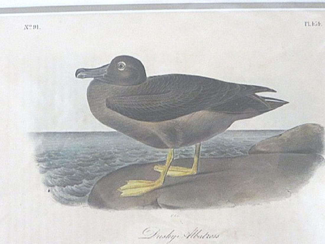 Audubon . Dusky Albatross. Plate 454