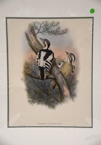J. Gould W. Hart Pygmy Woodpecker 19th C