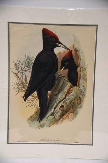J. Gould H. C. Richter Black Woodpecker
