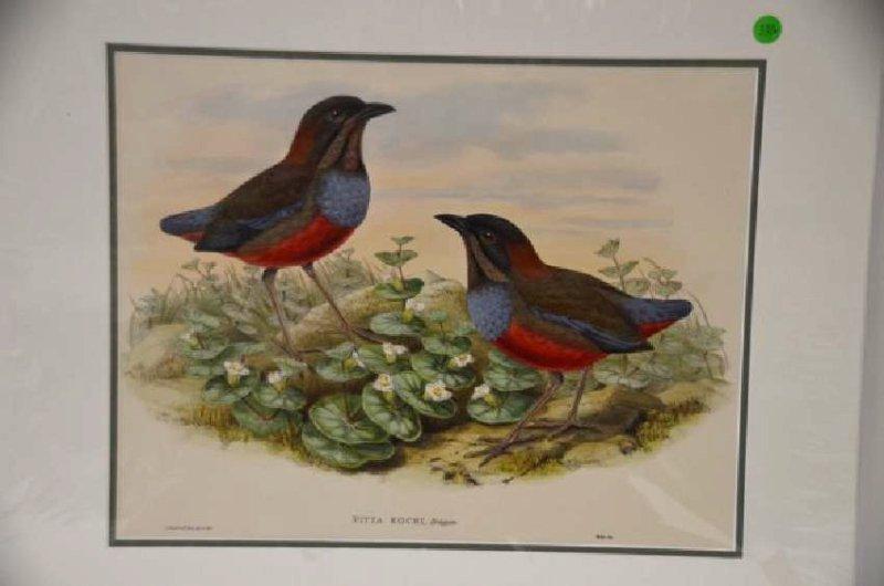 J. Gould W. Hart Pitta Kochi Plate 370