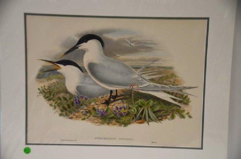 J. Gould H. C. Richter Sandwich Tern