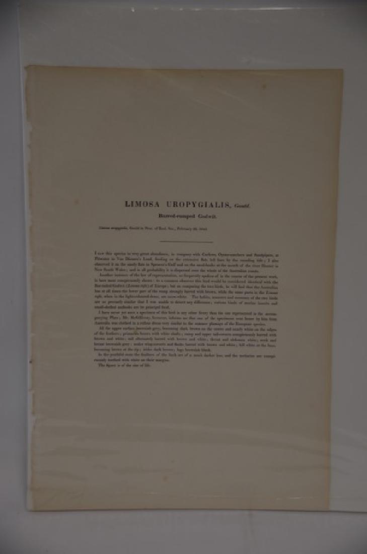 J. Gould H. C. Richter Godwit Plate 143 - 2