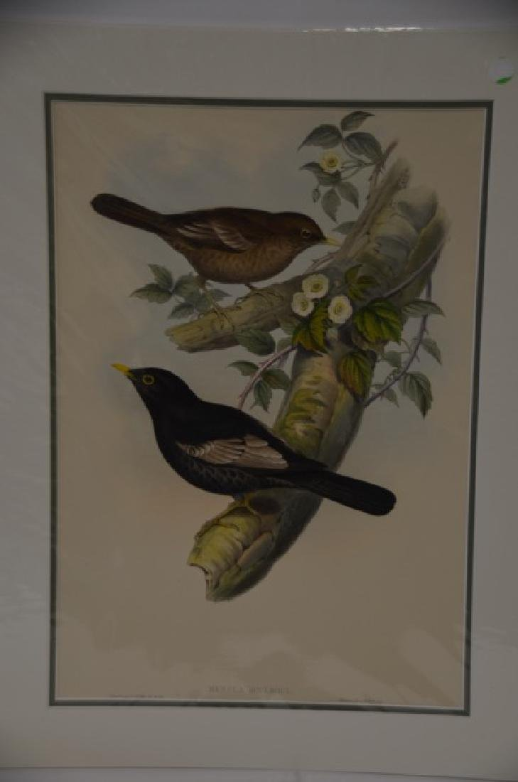J. Gould Hand Colored Lithograph #385