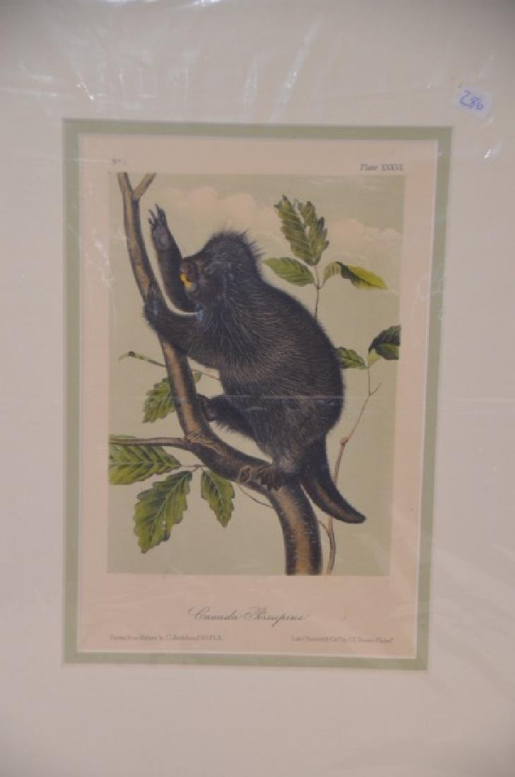 Audubon Aquatint Engraving Canada Porcupine