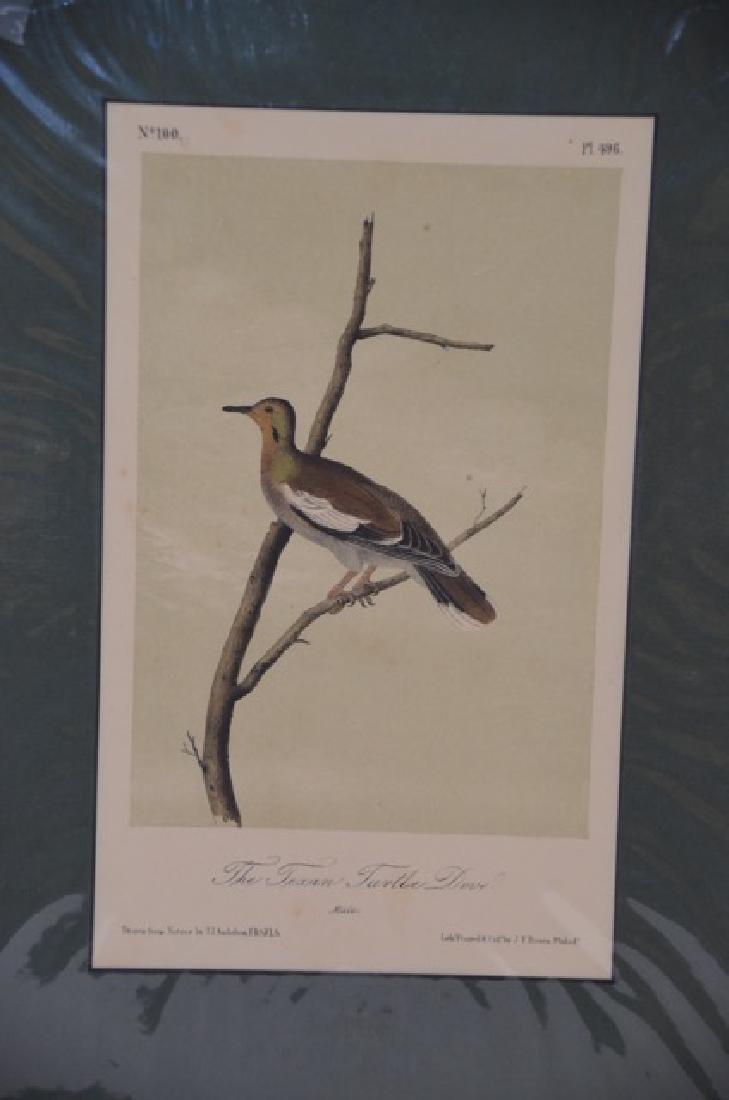Audubon Aquatint Engraving. Texan Turtle Dove